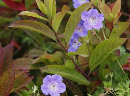 Geranium 'Rozanne'_7326