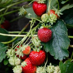 fragaria-x-ananassa-strawberry_1604_35437055425_o