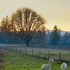alpaca-farm-and-gardens-25