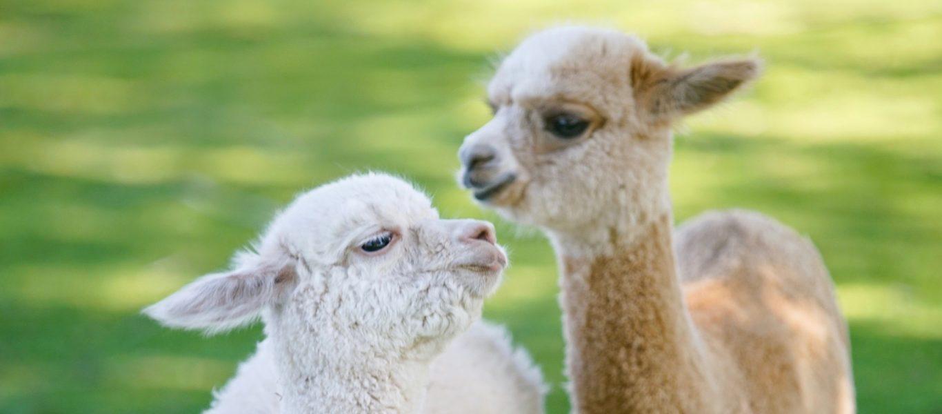Alpaca-Farm-and-Gardens-home-slider-2